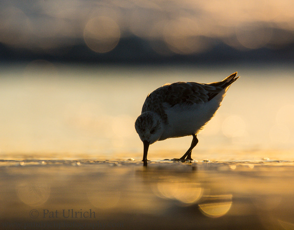 Silhouette of a sanderling feeding at sunrise in Parker River NWR