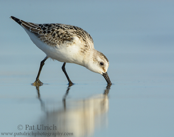 A sanderling is reflected in wet sand while feeding in Massachusetts