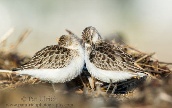 Photograph of two semipalmated sandpipers, with one sleeping and one preening
