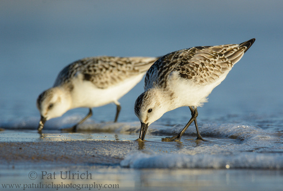 Two sanderlings feeding ahead of a small wave in Massachusetts