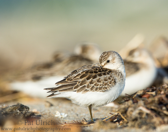 Resting semipalmated sandpiper on the beach
