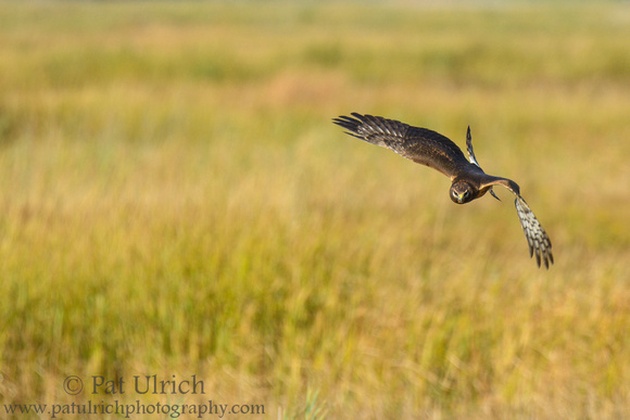 Female northern harrier in flight over a salt marsh in Massachusetts