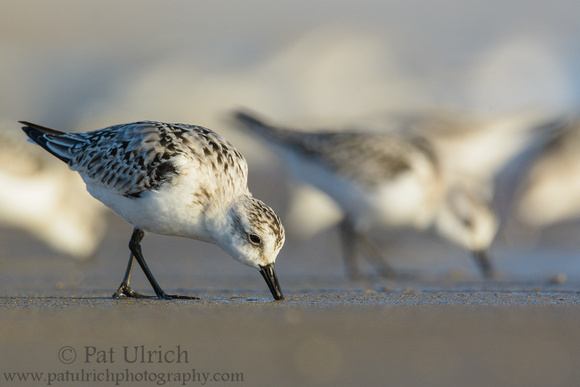 A pair of sanderlings feeding at the front edge of their flock in Parker River NWR