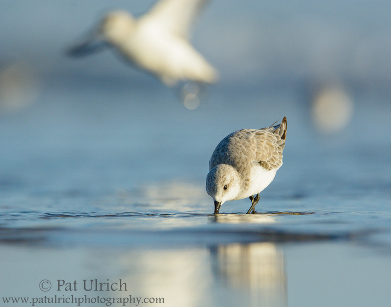 Sanderling feeding with another taking flight in the background at Parker River NWR