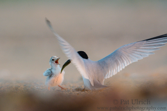 Least tern chick being fed a fish by its parent