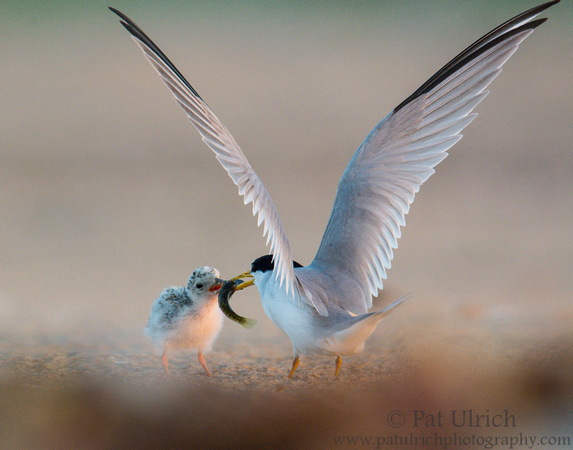 Least tern chick takes a fish from its parent