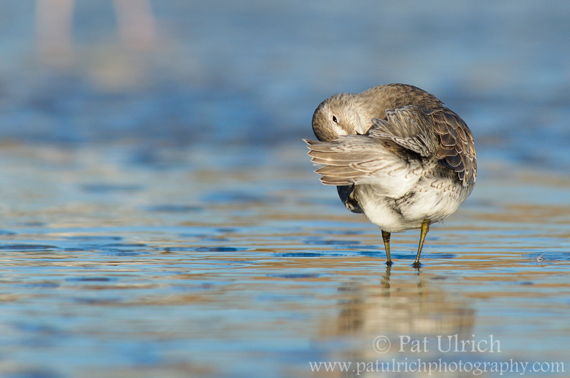 Juvenile red knot preening in Massachusetts