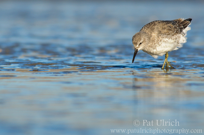 Juvenile red knot feeding at Parker River NWR