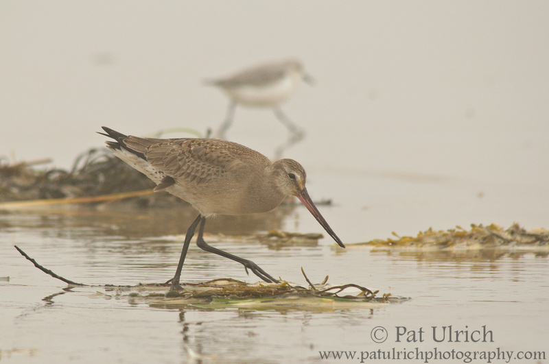 Hudsonian godwit under heavy fog in Massachusetts