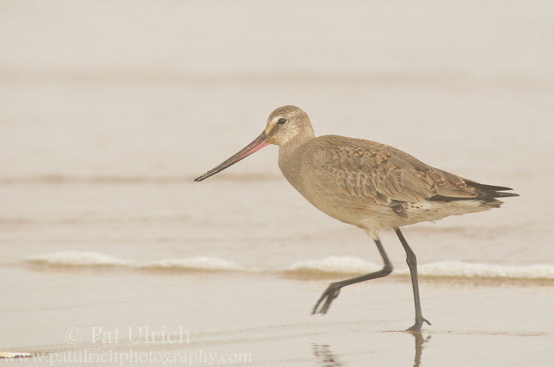 Hudsonian godwit in nonbreeding plumage in Massachusetts