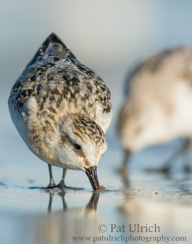 Sanderling feeding with its bill in the sand on a Massachusetts beach