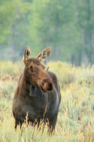 Mother moose