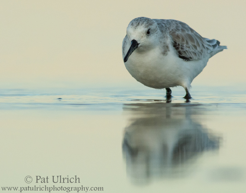 Sanderling with pastel reflection