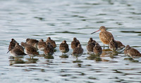 Godwit and dowitchers