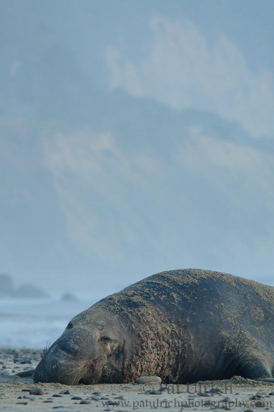 Bull elephant seal resting on the beach in California
