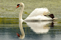 Mute swan on the pond