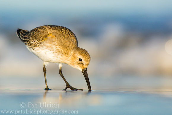 Dunlin feeding in front of the waves