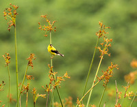 Goldfinch in the marsh
