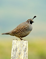 Quail in profile on a fencepost