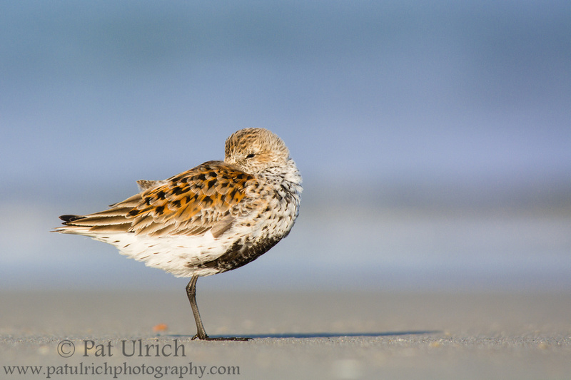 Dunlin with transitional plumage resting on the beach