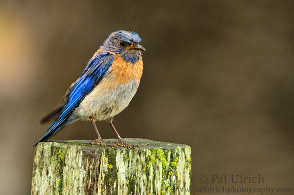 Angry bluebird in the rain
