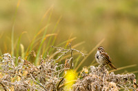Singing sparrow behind the dunes