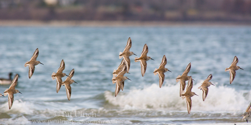 Flock of dunlin in flight over the breaking waves at Plymouth Beach