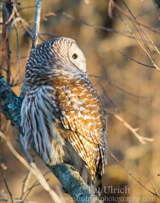 Barred owl looks toward the sunset