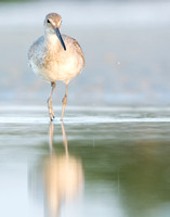 Early morning willet