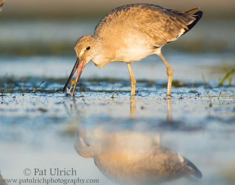 Willet snatches a small crab from a tidal pool
