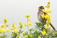 White-crowned sparrow sings from lupine branch