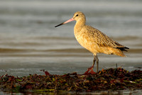 Sunset godwit