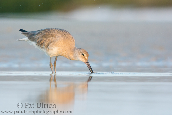 Wildlife Photography by Pat Ulrich: Willets &emdash; Willet washing prey