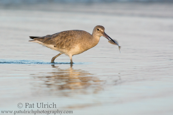 Wildlife Photography by Pat Ulrich: Willets &emdash; Willet with a flat fish