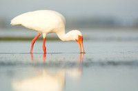 Ibis feeding in a tidal pool