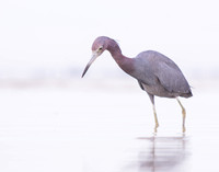 Little blue heron in an infinite sea