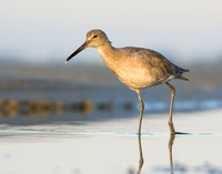 Willet at Bunche Beach Preserve