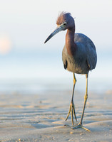 Little blue heron on Bunche Beach
