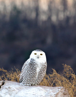 Snowy owl after sunset