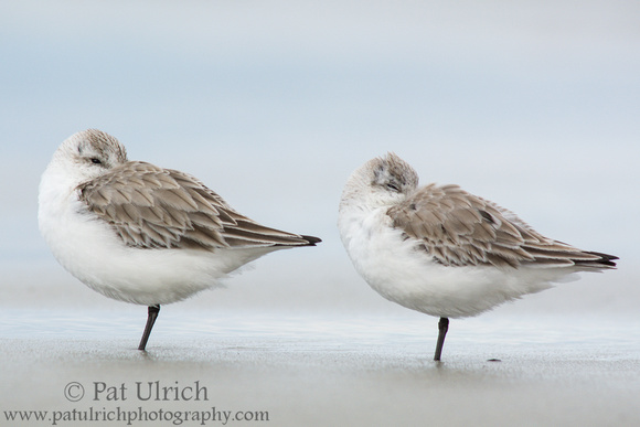 Two sanderlings resting with their feet in the sand on Plymouth Beach