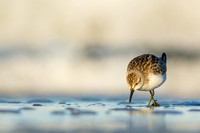 Least sandpiper in front of the waves