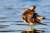 Dowitcher fan dance