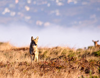 Coyote on Tomales Point