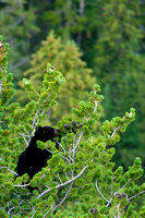 Black bear cub in the branches