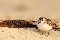 Semipalmated sandpiper next to driftwood