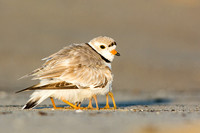 Piping plovers at Sandy Point State Reservation