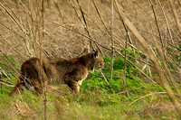 Bobcat in the brush