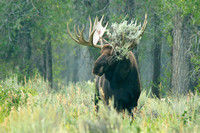 Bull moose accessorizes with sagebrush
