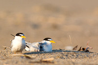 Family of least terns