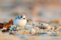 Morning pastels with a piping plover